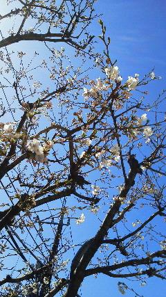 我家の桜情報